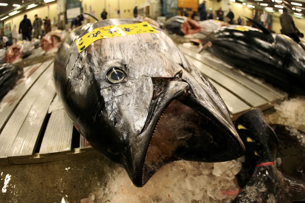 20. TOKIO - TARG RYBNY TSUKIJI: Cały tuńczyk został wypełniony lodem, aby dłużej utrzymał walory smakowe. (Foto: Koichi Kamoshida/Getty Images)