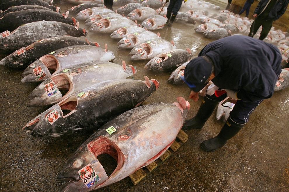 6. TOKIO - TARG RYBNY TSUKIJI: Hurtownik sprawdza jakość oczyszczonych kadłubów tuńczyka. (Foto: Koichi Kamoshida/Getty Images)