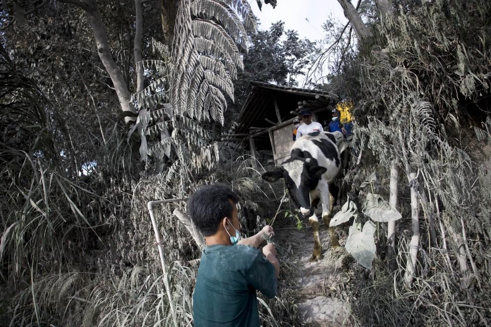 12. INDONEZJA, Sleman, 27 października 2010: Mieszkańcy małej wioski Kinahrejo ratują zwierzęta. (Foto: Ulet Ifansasti/Getty Images)