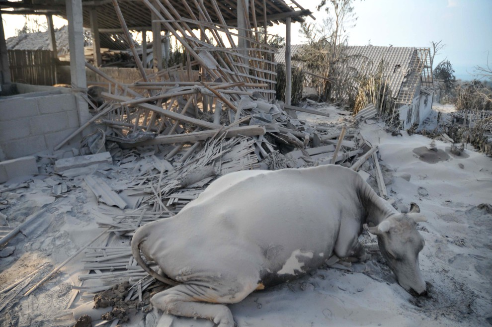 14. INDONEZJA, Sleman, 27 października 2010: Krowa przykryta warstwą pyłu wulkanicznego leży na ulicy w Sleman. AFP PHOTO / CLARA PRIMA