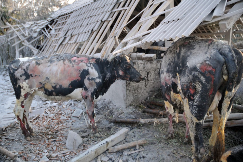 15. INDONEZJA, Sleman, 27 października 2010: Krowy poparzone przez chmurę gorącego pyłu wulkanicznego. GRAPHIC CONTENT AFP PHOTO / CLARA PRIMA
