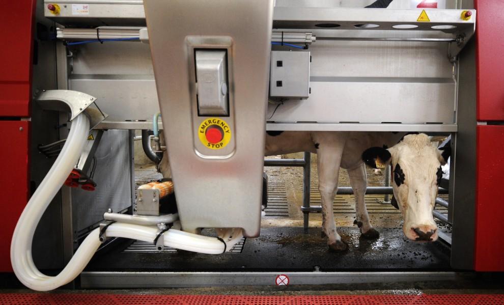 16. FRANCJA, Bréhan, 24 września 2010: Robot obsługujący mleczną farmę w  Bréhan. AFP PHOTO DAMIEN MEYER