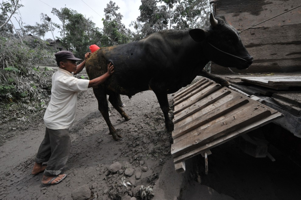 16. INDONEZJA, Klaten, 2 listopada 2010: Mężczyzna zagania bydło na ciężarówkę. AFP PHOTO / Bay ISMOYO