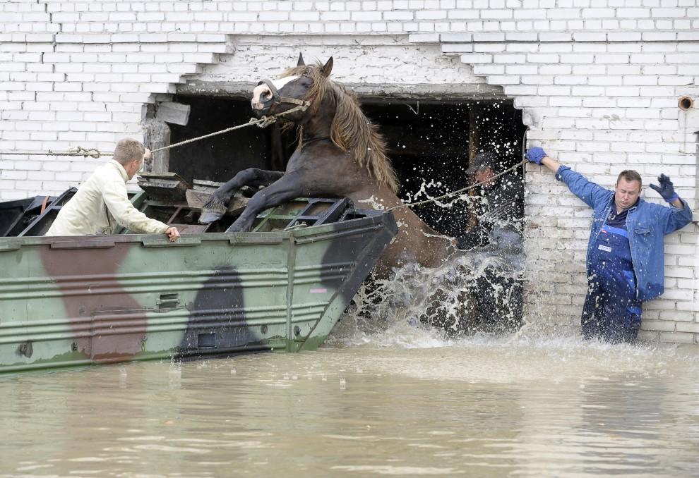 19. POLSKA, Juliszew, 24 maja 2010: Rolnicy usiłują wprowadzić na pokład amfibii konia wyprowadzonego z zalanej obory. AFP PHOTO/ JANEK SKARZYNSKI