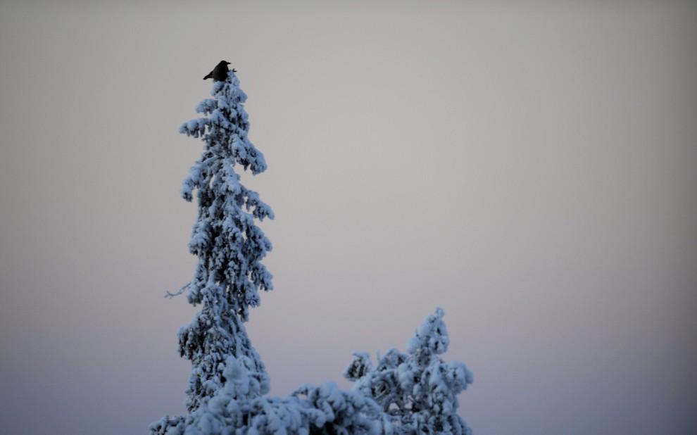 26. FINLANDIA, Kuusamo , 25 listopada 2010: Samotny ptak na szczycie drzewa w pobliżu skoczni. AFP PHOTO/LEHTIKUVA/Antti Aimo-Koivisto