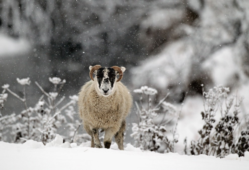 29. SZKOCJA, Stirling, 28 listopada 2010: Owca na ośnieżonym pastwisku w pobliżu Stirling. (Foto: Jeff J Mitchell/Getty Images)