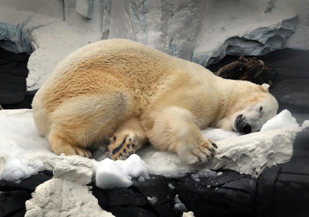 30. USA, San Diego, 27 sierpnia 2010: Niedźwiedź polarny Charly z zoo w San Diego chłodzi się w śnieżnej pryzmie. (Foto: Bob Couey/SeaWorld San Diego via Getty Images)