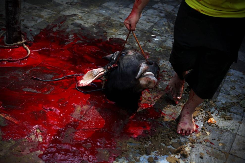 40. INDONEZJA, Yogyakarta, 27 listopada 2009: Rzeźnik niesie odcięty łeb krowy ofiarowanej podczas Święta Ofiar. (Foto: Ulet Ifansasti/Getty Images)