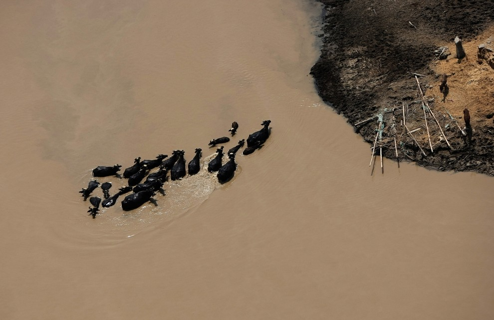 16. PAKISTAN, Punjab, sierpień 2010: Bydło brodzące w wodzie na zalanych terenach prowincji Punjab. AFP PHOTO/MARWAN NAAMANI