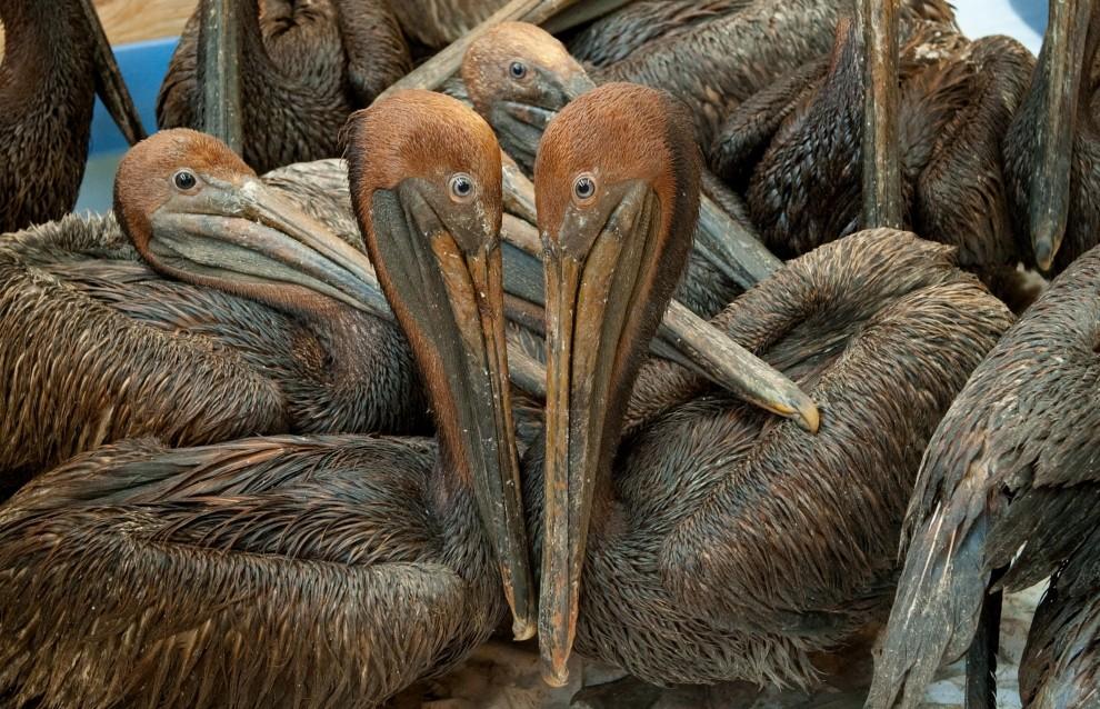 64. USA, Buras, 9 czerwca 2010: Brudne od ropy pelikany czekają na mycie w ośrodku Fort Jackson. AFP PHOTO / Saul LOEB