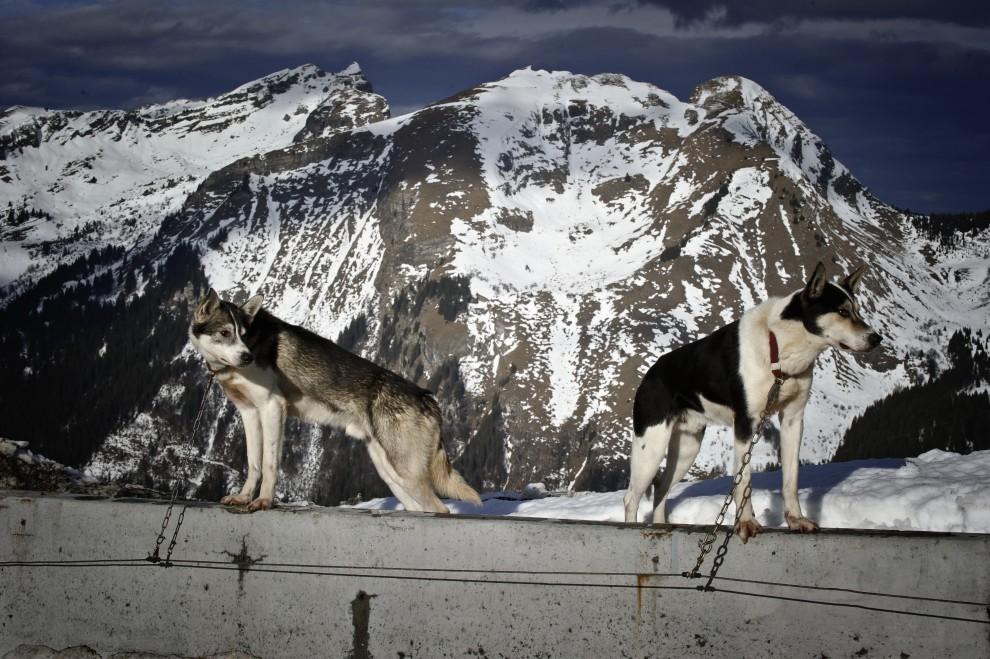 """10. FRANCJA, Morzine, 8 stycznia 2011: Psy, które wystartują w """"La Grande Odyssee 2011"""" czekają na wpięcie do zaprzęgu. AFP PHOTO / JEAN-PHILIPPE KSIAZEK"""