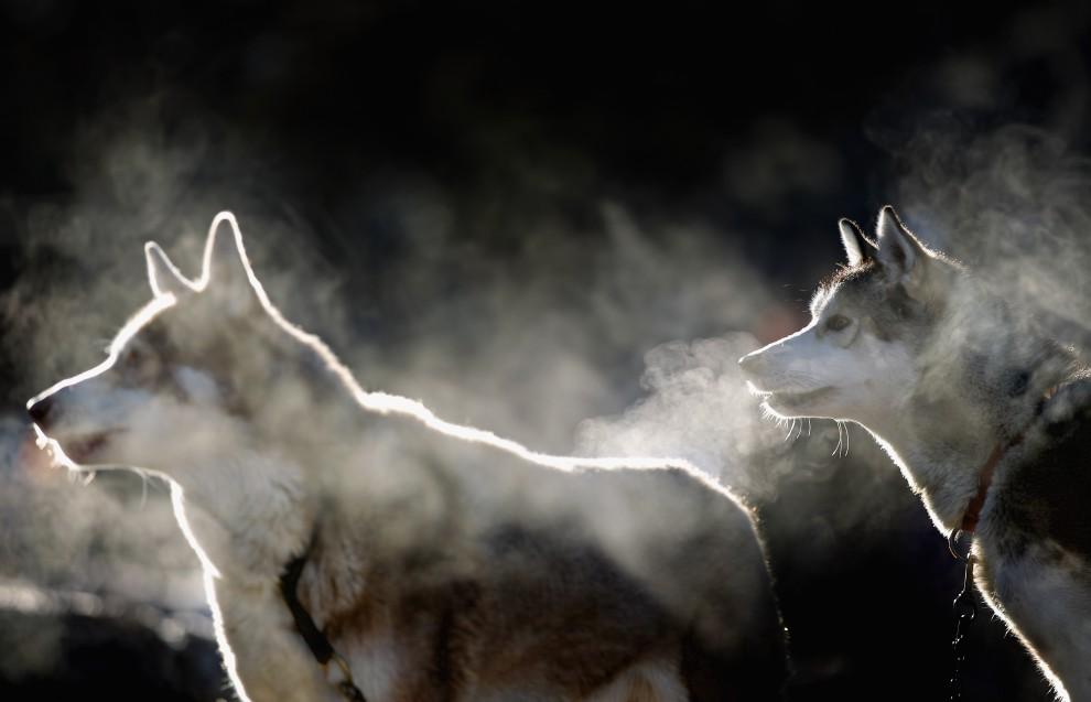11. WIELKA BRYTANIA, Aviemore, 20 stycznia 2011: Psy na starcie do 28. edycji Aviemore Husky Sled Dog Rally. (Foto: Jeff J Mitchell/Getty Images)