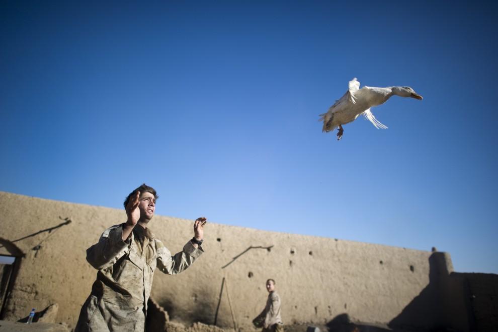 12. AFGANISTAN, Musa Qala, 24 stycznia 2011: Żołnierz piechoty morskiej bawi się z kaczką. AFP PHOTO / DMITRY KOSTYUKOV