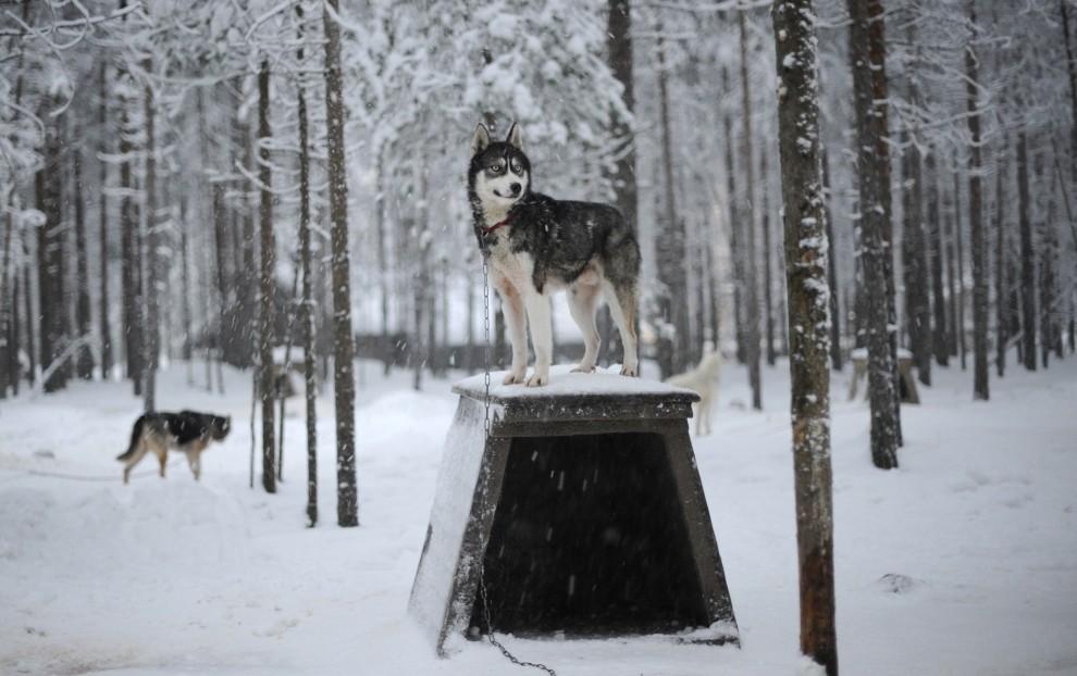 12. FINLANDIA, Rovaniemi, 15 grudnia 2008: Husky syberyjski z psiarni w Rovaniemi. AFP PHOTO / OLIVIER MORIN