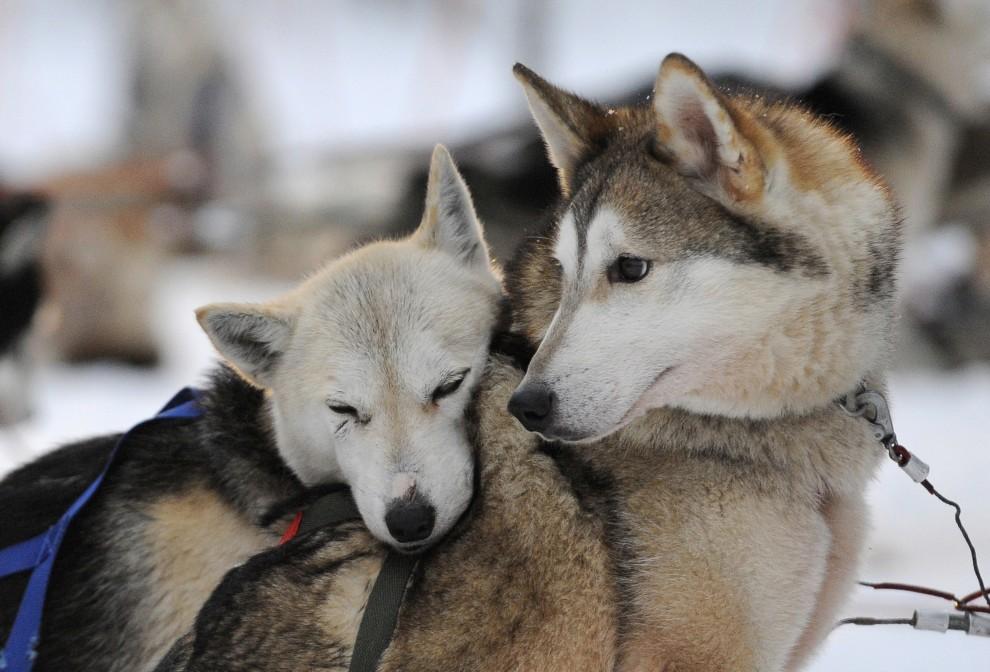 13. FINLANDIA, Rovaniemi, 15 grudnia 2008: Psy z psiarni w Rovaniemi odpoczywają po przebiegnięciu krótkiej trasy. AFP PHOTO / OLIVIER MORIN