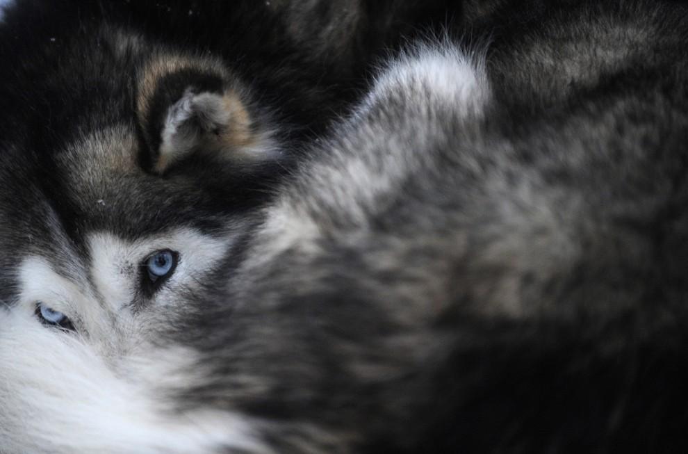 """15. FINLANDIA, Rovaniemi, 15 grudnia 2008: Husky syberyjski odpoczywa zwinięty w """"kłębek"""". AFP PHOTO / OLIVIER MORIN"""