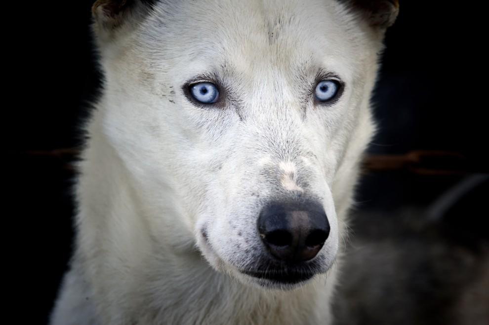 """16. FRANCJA, Morzine, 8 stycznia 2011: Pies zaprzęgowy na starcie do """"La Grande Odyssee 2011"""". AFP PHOTO / JEAN-PHILIPPE KSIAZEK"""