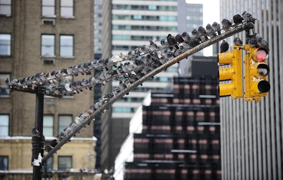 16. USA, Nowy Jork, 27 stycznia 2011: Gołębie oblegają słup sygnalizacji świetlnej. AFP PHOTO/Emmanuel Dunand