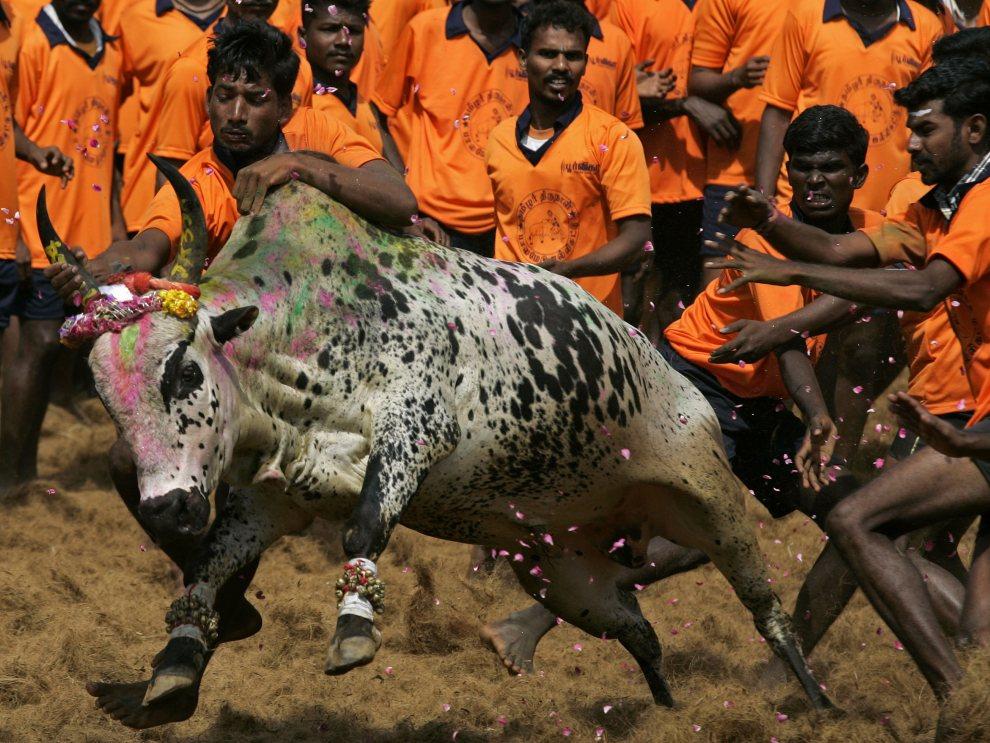17. INDIE, Madurai, 16 stycznia 2011: Młodzi mężczyźni starają się poskromić byka podczas uroczystości Jallikattu. AFP/STR