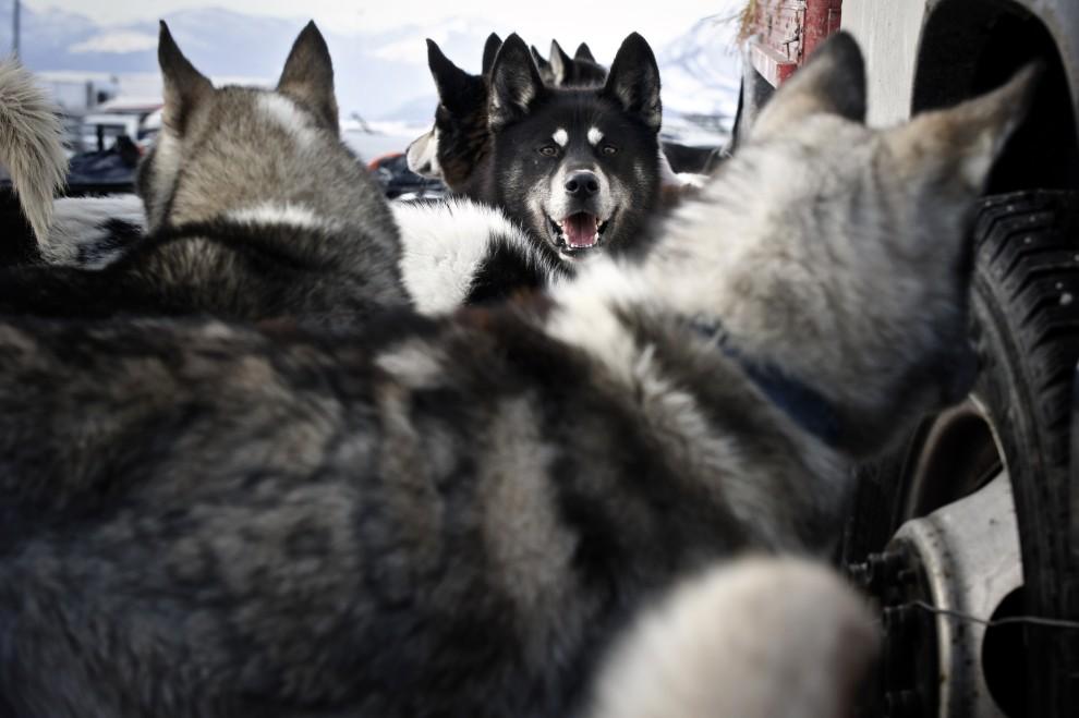 17. FRANCJA, Morzine, 8 stycznia 2011: Psy czekają na sygnał do startu od swojego maszera. AFP PHOTO / JEAN-PHILIPPE KSIAZEK