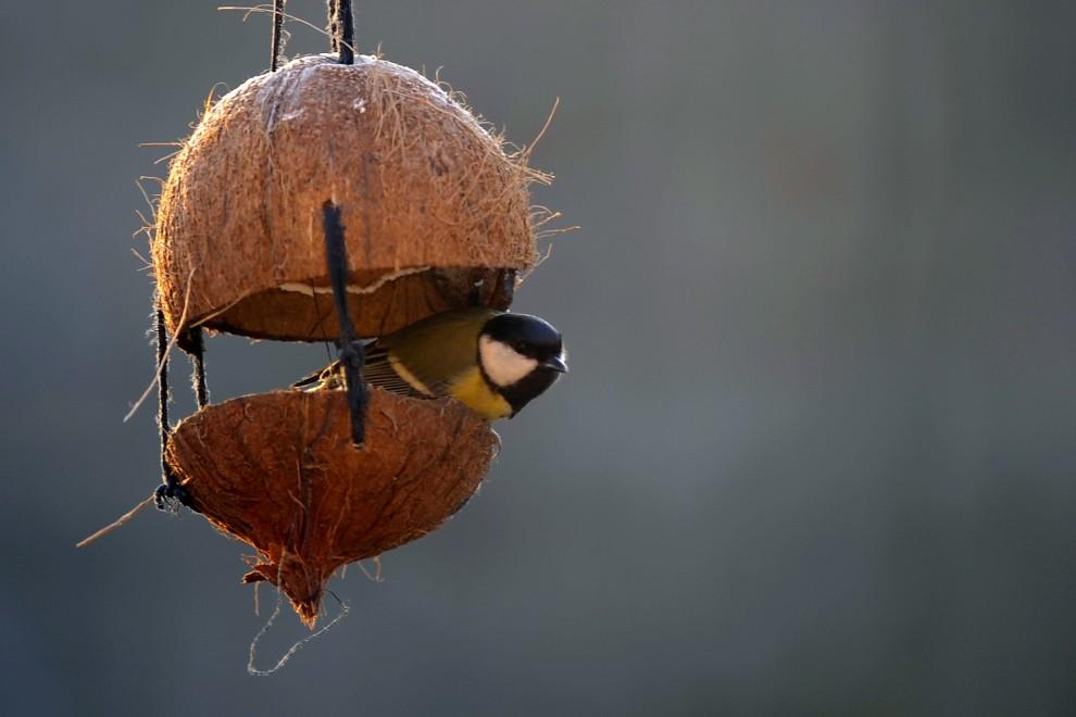 17. WŁOCHY, Corbetta, 22 stycznia 2011: Sikora wygląda z gniazda zbudowanego w orzechu kokosowym. AFP PHOTO / OLIVIER MORIN