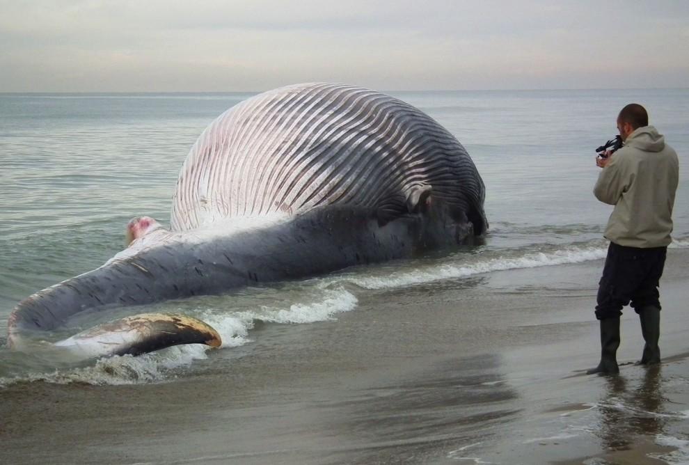 18. WŁOCHY, Piza, 26 stycznia 2011: Mężczyzna filmuje martwego wieloryba wyrzuconego na brzeg. AFP PHOTO / FABIO MUZZI