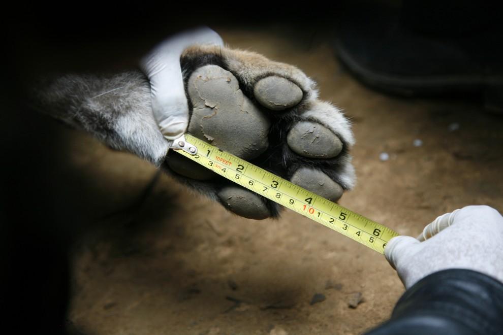 19. NEPAL, Chitwan, 23 stycznia 2011: Naukowiec dokonuje pomiarów dziko żyjącego tygrysa, któremu założono obrożę z nadajnikiem. AFP PHOTO/HO/ WWF NEPAL/ MIN BAJRACHARYA