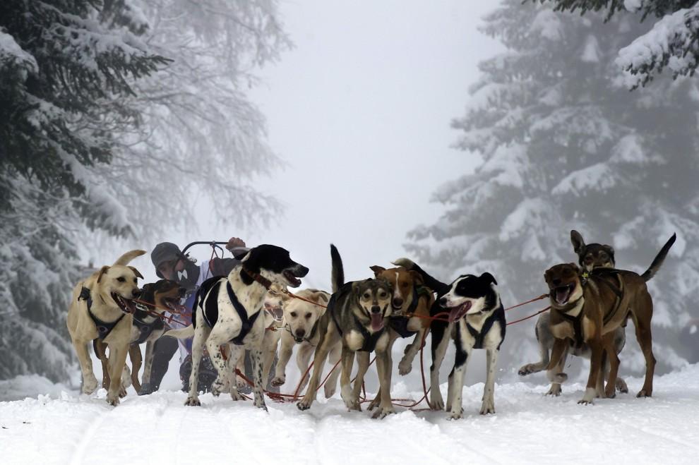 """19. FRANCJA, Praz-sur-Arly, 10 stycznia 2011: Psi zaprzęg na trasie wyścigu """"La Grande Odyssee 2011"""". AFP PHOTO / JEAN-PHILIPPE KSIAZEK"""