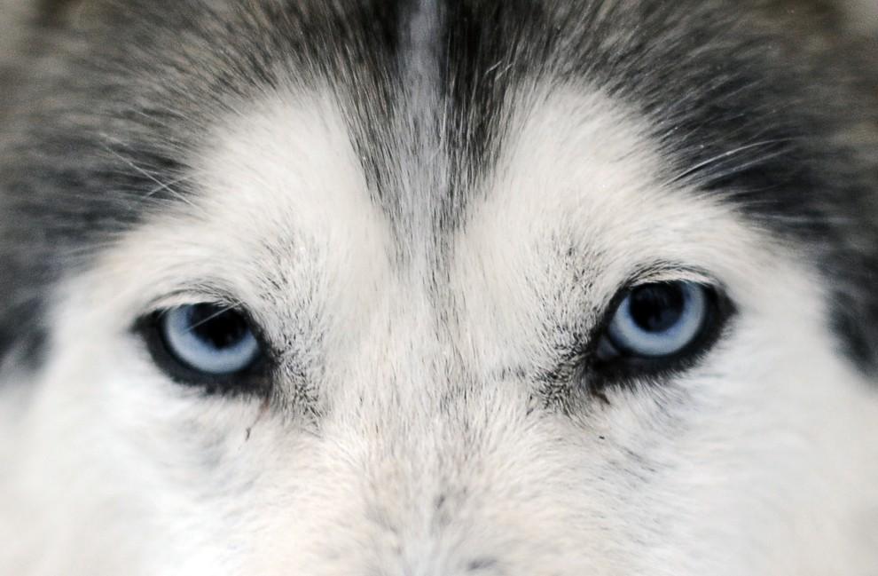 1. FINLANDIA, Rovaniemi, 15 stycznia 2008: Przenikające spojrzenie psa rasy husky syberyjski. AFP PHOTO / OLIVIER MORIN
