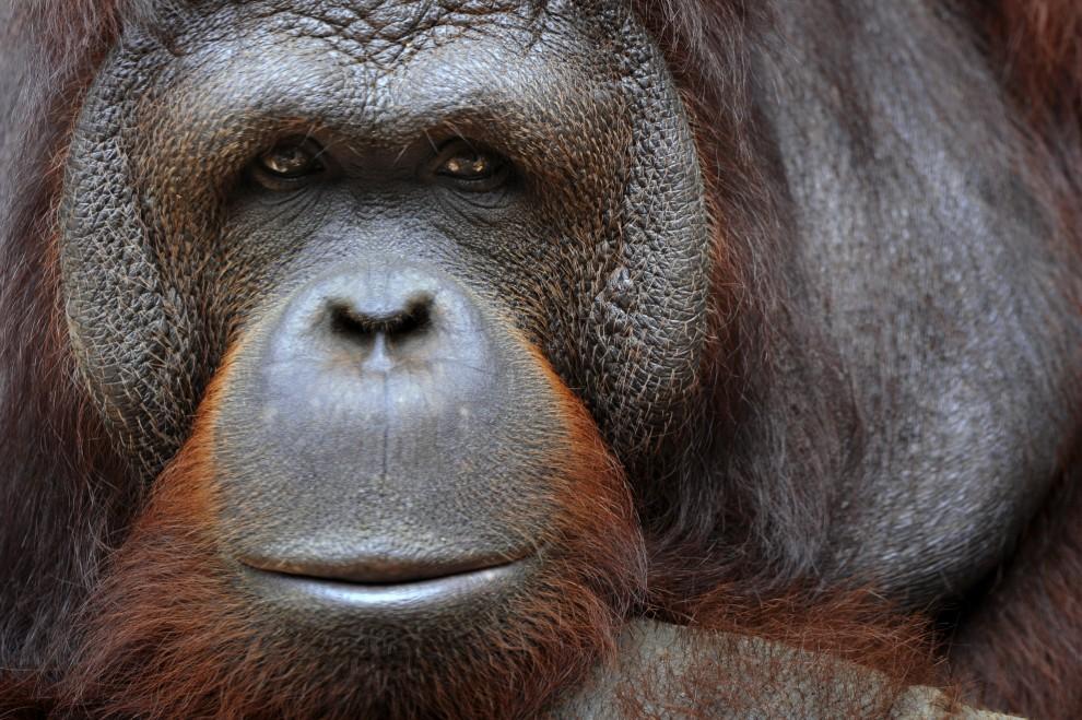 20. INDONEZJA, Dżakarta, 27 stycznia 2011: Orangutan z ogrodu zoologicznego Ragunan. AFP PHOTO / ROMEO GACAD