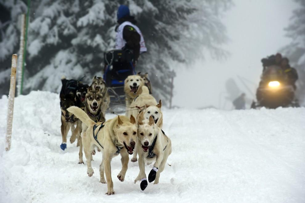 20. FRANCJA, Praz-sur-Arly, 10 stycznia 2011: Psy biegnące w zaprzęgu na trasie w Alpach Francuskich. AFP PHOTO / JEAN-PHILIPPE KSIAZEK
