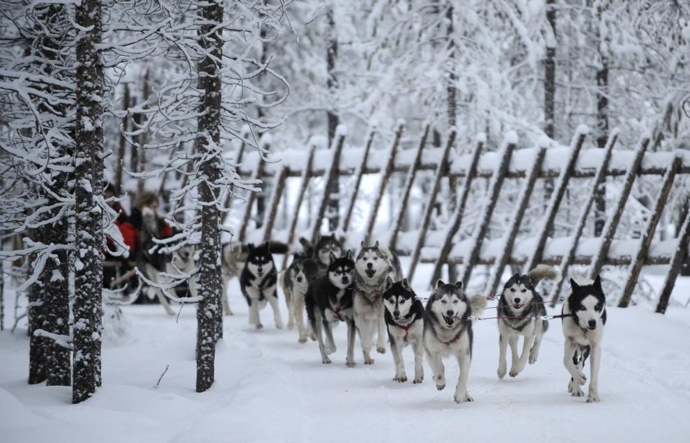 22. FINLANDIA, Rovaniemi , 15 grudnia 2008: Husky syberyjskie ciągną sanie na trasie w okolicach Rovaniemi. AFP PHOTO / OLIVIER MORIN