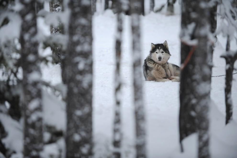 24. FINLANDIA, Rovaniemi, 15 grudnia 2008: Alaskan malamute odpoczywa na śniegu w psiarni zlokalizowanej pod Rovaniemi. AFP PHOTO / OLIVIER MORIN