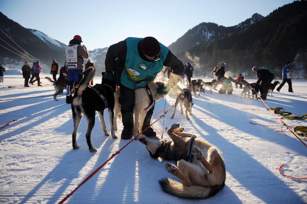 25. FRANCJA, La Chapelle-d'Abondance, 12 stycznia 2009: Maszer przygotowuje swoje psy do startu. AFP PHOTO / FRED DUFOUR