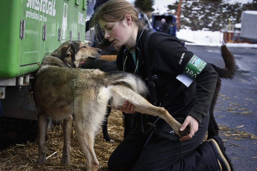 29. FRANCJA, Morzine, 8 stycznia 2011: Weterynarz bada psy przed startem w wyścigu. AFP PHOTO / JEAN-PHILIPPE KSIAZEK