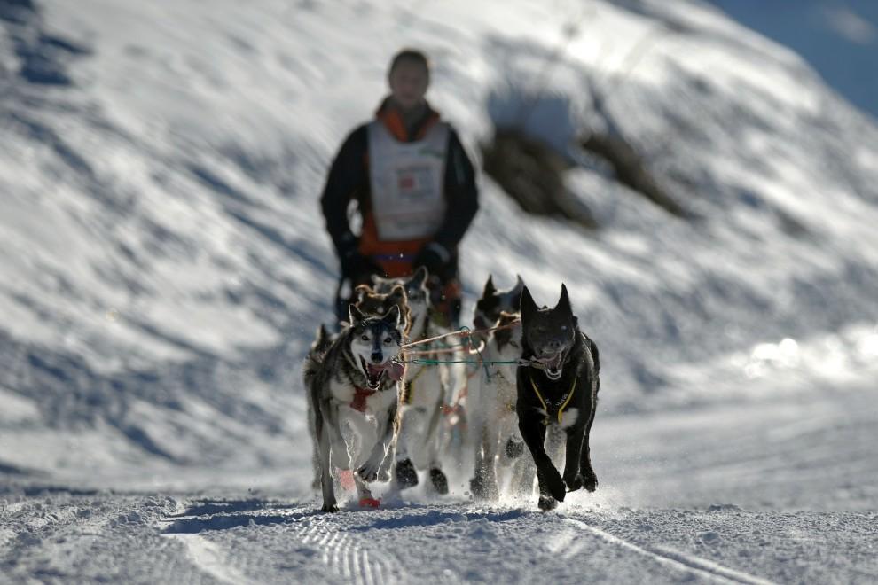 """33. FRANCJA, Les Gets, 13 stycznia 2009: Biegnący psi zaprzęg na trasie  """"La Grande Odyssee 2009"""", prowadzącej przez Alpy Francuskie. AFP PHOTO / FRED DUFOUR"""