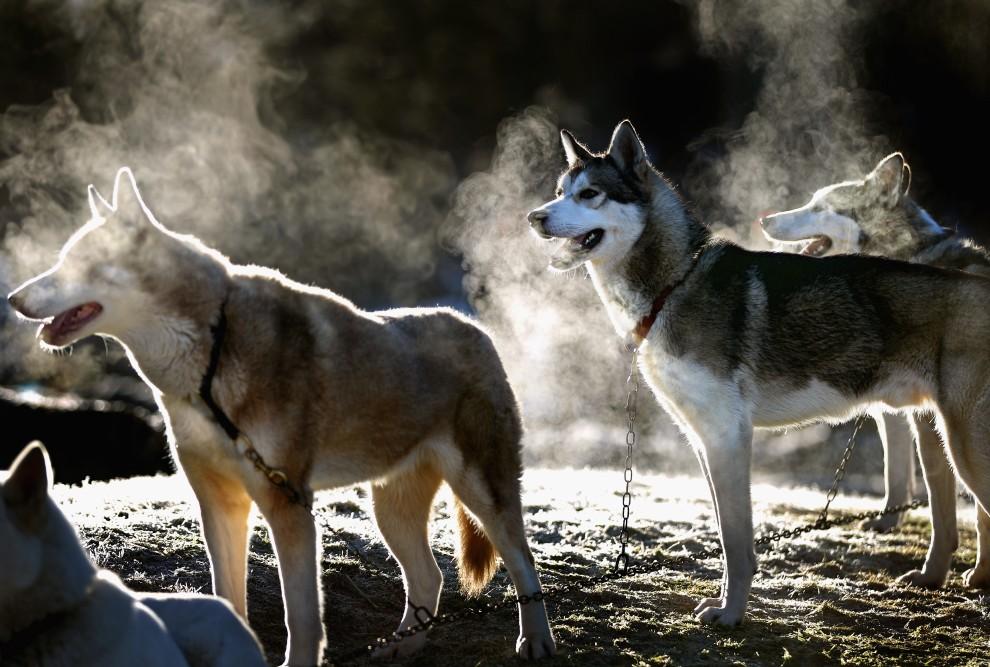 4. WIELKA BRYTANIA, Aviemore, 20 stycznia 2011: Psy oczekują na rozpoczęcie tegorocznej edycji wyścigu wokół jeziora Loch Morlich. (Foto: Jeff J Mitchell/Getty Images)