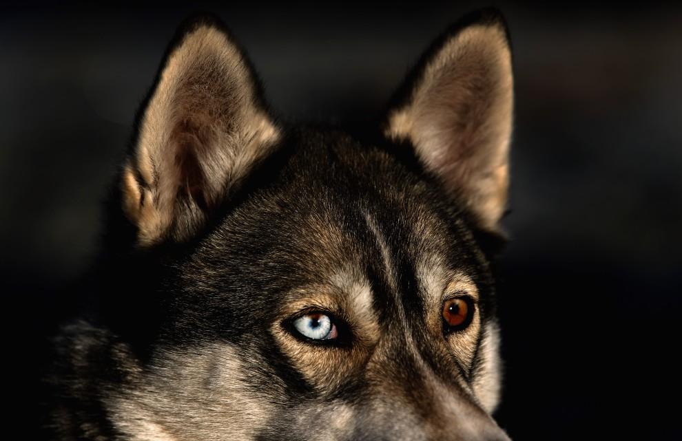 5. WIELKA BRYTANIA, Aviemore, 20 stycznia 2011: Pies uczestniczący w wyścigach zaprzęgów. (Foto: Jeff J Mitchell/Getty Images)