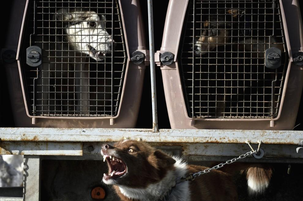 6. FRANCJA, Morzine, 8 stycznia 2011: Psy czekają w klatkach na wpięcie do zaprzęgu. AFP PHOTO / JEAN-PHILIPPE KSIAZEK