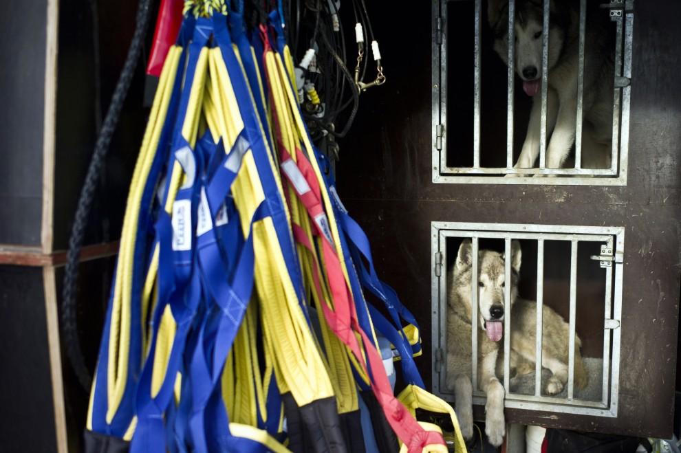 """7. FRANCJA, Morzine, 8 stycznia 2011: Psy w klatkach czekają na rozpoczęcie 7. edycji wyścigu  """"La Grande Odyssee 2011"""". AFP PHOTO / JEAN-PHILIPPE KSIAZEK"""