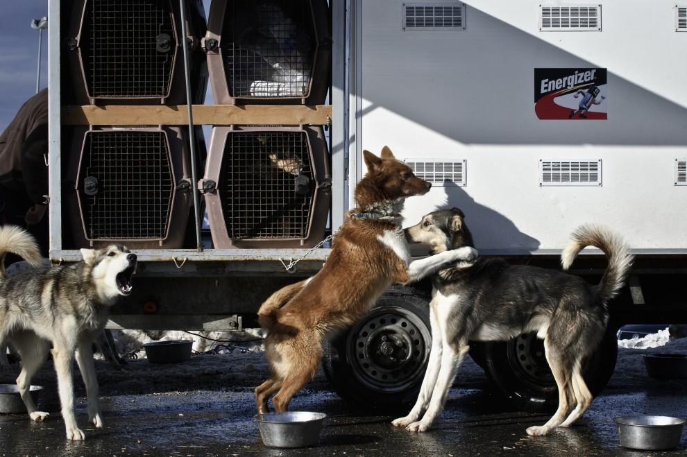 """8. FRANCJA, Morzine, 8 stycznia 2011: Psy zaprzęgowe startujące w """"La Grande Odyssee 2011"""". AFP PHOTO / JEAN-PHILIPPE KSIAZEK"""