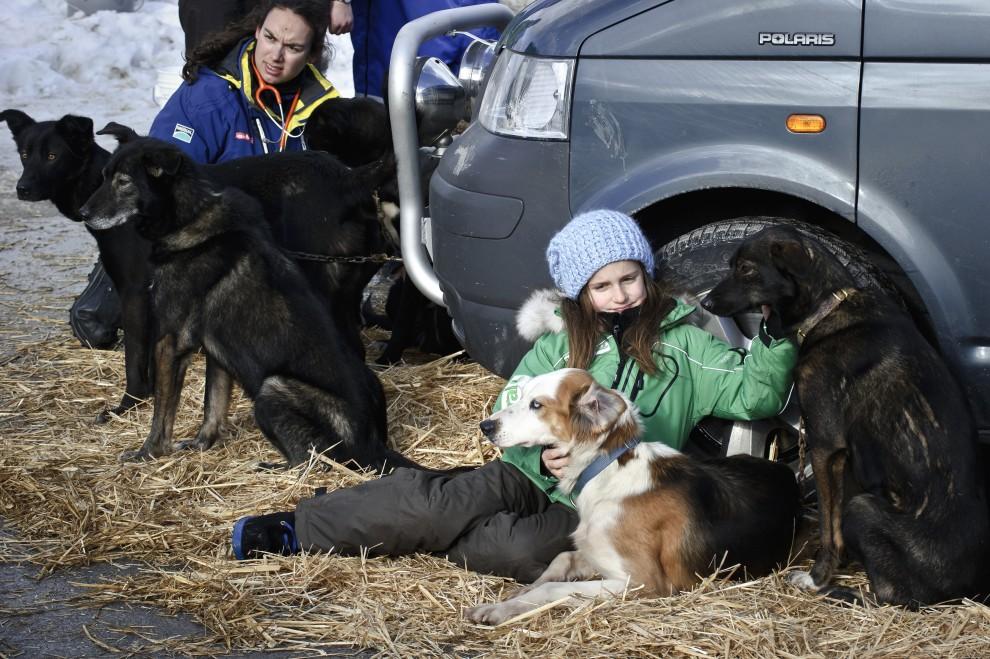 """9. FRANCJA, Morzine, 8 stycznia 2011: Psy przed badaniem weterynaryjnym na starcie """"La Grande Odyssee 2011"""". AFP PHOTO / JEAN-PHILIPPE KSIAZEK"""