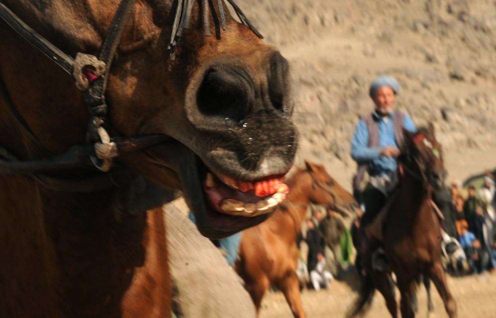 10. AFGANISTAN, Kabul, 4 grudnia 2009: Krwawiący pysk konia ujeżdżanego podczas buzkaszi. AFP PHOTO/Massoud HOSSAINI