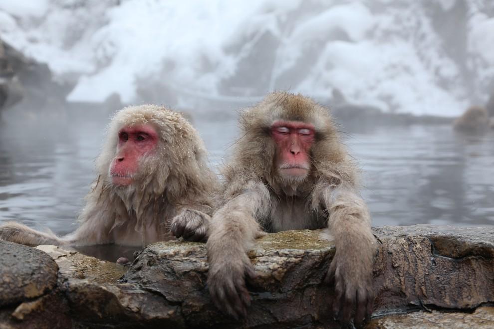 13. JAPONIA, Yamanouchi, 30 stycznia 2010: Dwa makaki zanurzone w ciepłej wodzie. (Foto: Koichi Kamoshida/Getty Images)