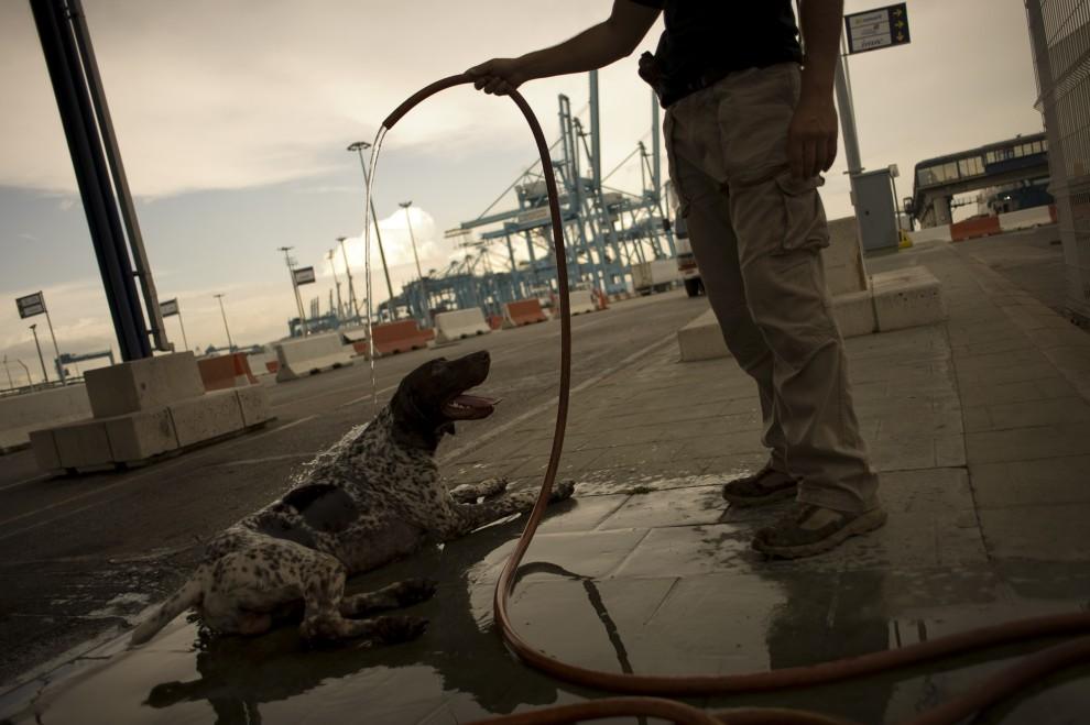 14. HISZPANIA, Algeciras, 17 sierpnia 2010: Policjant z psem wykorzystywanym do szukania przemycanych ludzi w porcie. AFP PHOTO/ JORGE GUERRERO