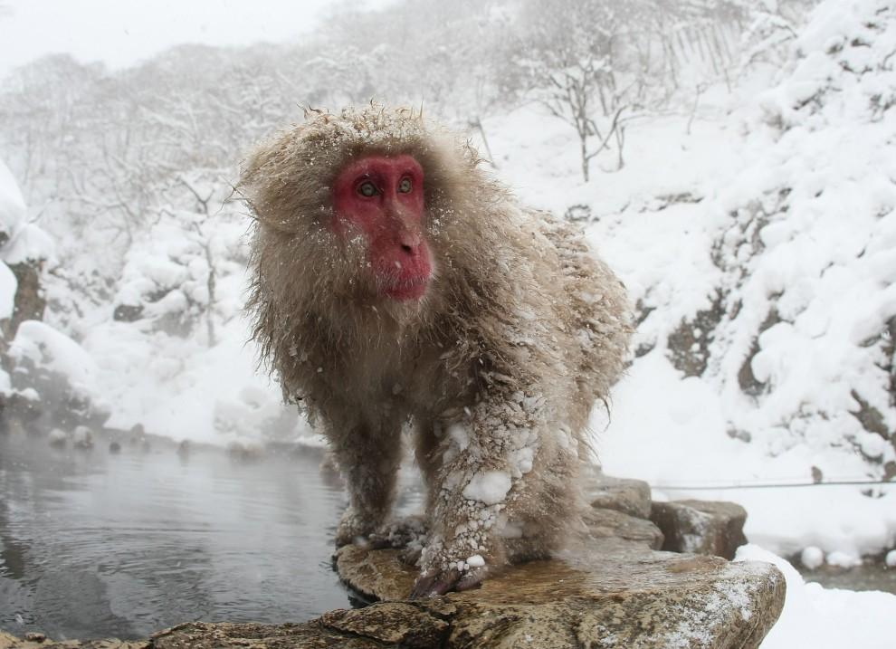 14. JAPONIA, Jigokudani, 17 lutego 2008: Makak po wyjściu z ciepłej wody. (Foto: Koichi Kamoshida/Getty Images)
