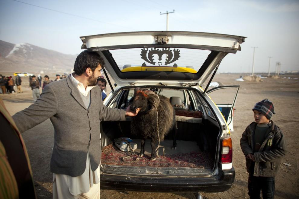 15. AFGANISTAN, Kabul, 18 lutego 2011: Mężczyzna prezentuje barana, którego przywiózł do Kabulu na walkę. (Foto: Getty Images)