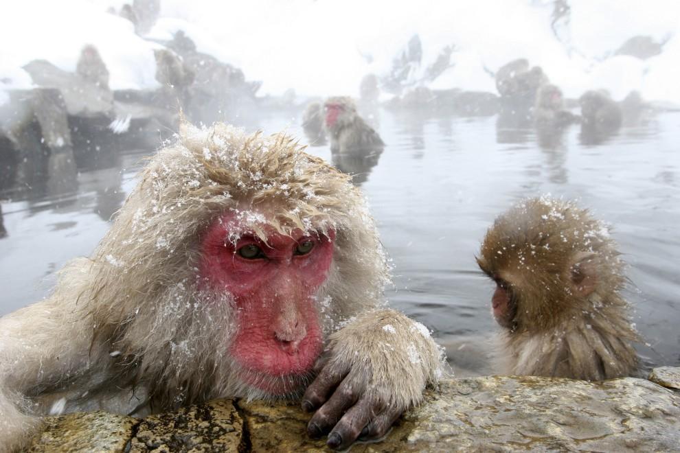 15. JAPONIA, Jigokudani, 23 stycznia 2005: Makaki relaksują się w ciepłej wodzie. (Foto: Koichi Kamoshida/Getty Images)