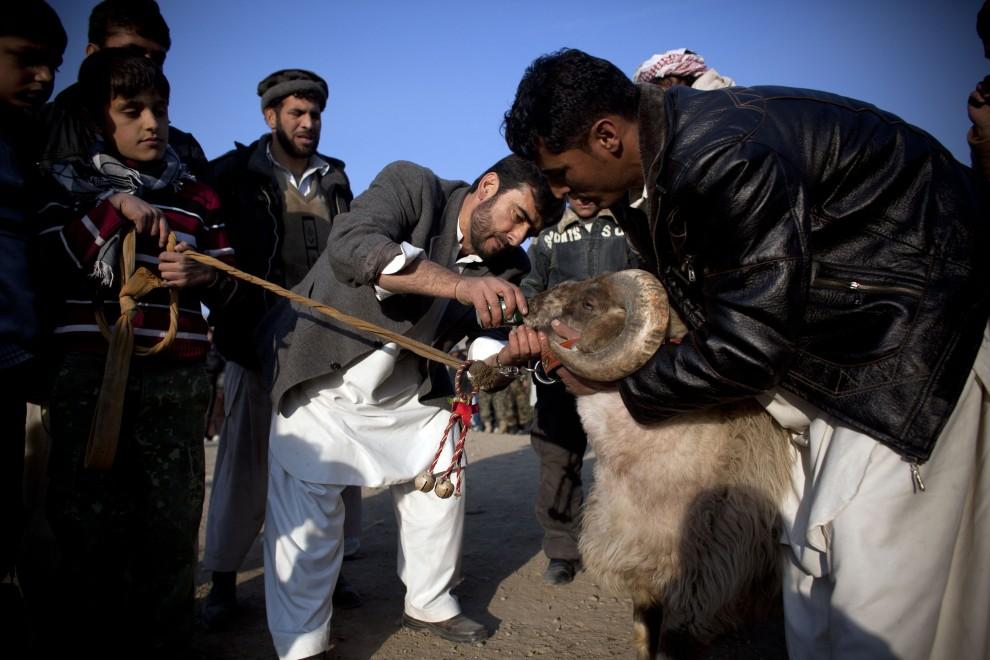 16. AFGANISTAN, Kabul, 18 lutego 2011: Mężczyźni oceniają barana wystawionego do walki. (Foto: Getty Images)