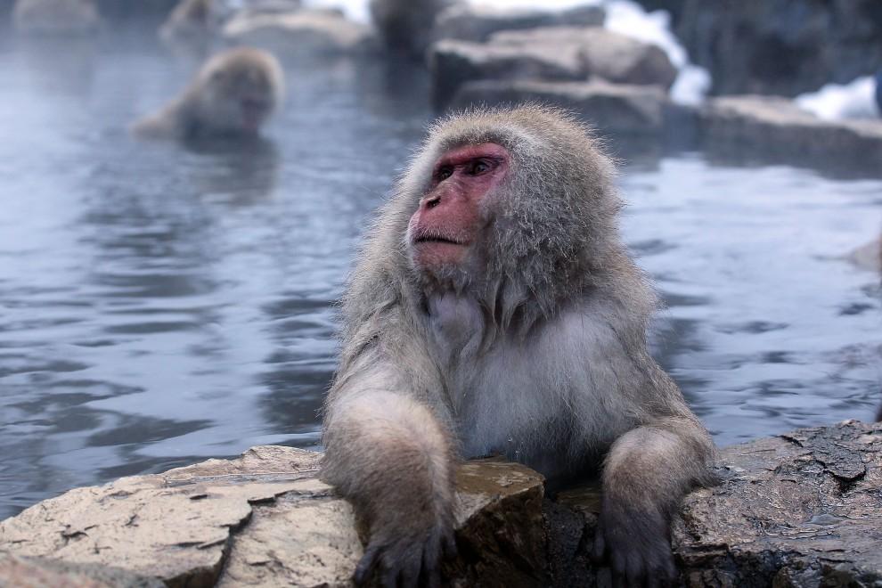 16. JAPONIA, Yamanouchi, 30 stycznia 2010: Makak podczas kąpieli w wodach termalnego źródła. (Foto: Koichi Kamoshida/Getty Images)